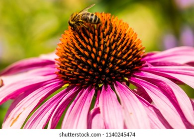 Spiky pink flower images stock photos vectors shutterstock spiky pink flower with bee pollentating mightylinksfo