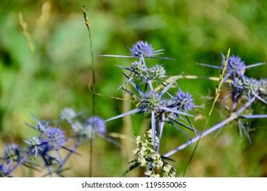 Purple spiky flowers images stock photos vectors shutterstock spiky plants with purple flowers mightylinksfo