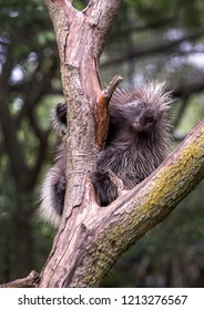 spiky rodent in a tree is a north american porcupine