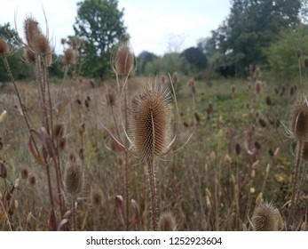 spiky or sharp brown weeds or wildflower teasel plants