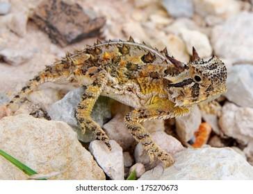 The spiky Texas Horned Lizard, Phyrnosoma cornutum