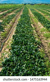 Spinach farm. Organic green vegetables on the field. Agriculture bio production concept.