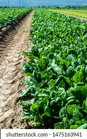 Spinach farm. Organic spinach leaves on the field. Agriculture bio production concept. Sunny day.