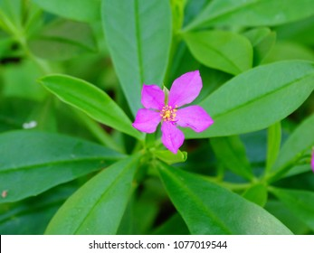 spinach flower, violet color, small five petals with yellow pollen