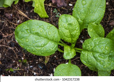 Spinach growing from composted soil in a home garden