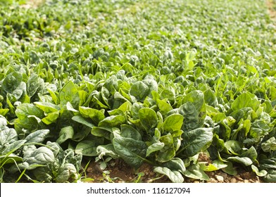 Spinach plantation. Spinach in a rows.