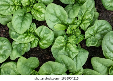 Spinach plants almost ready to harvest, top view. Known as Spinacia oleracea or Heirloom Spinach, Bloomsdale Long Standing. Dark green leaves. Plants planted early spring in organic rooftop garden.