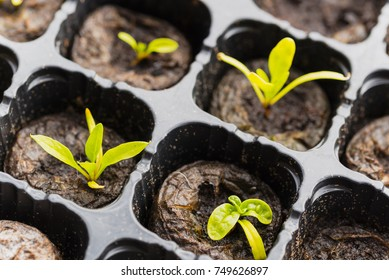 Spinach seedlings macro