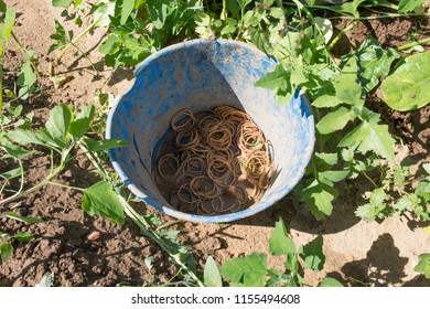 Spinachs just collected at local farm ecological farm. Rubberbands bucket