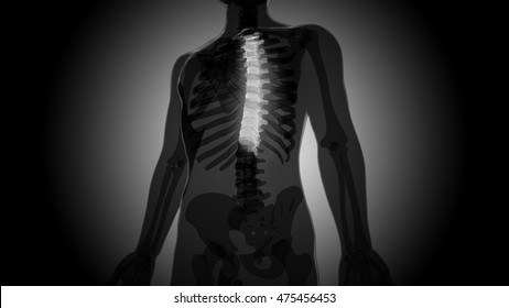 Spinal cord Anatomy (Thoracic vertebrae). 3D