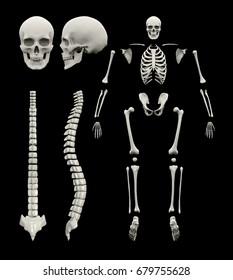 Spine and skeleton 3d rendering