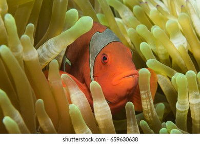 Spinecheek anemonefish (Premnas biaculeatus) in anemone