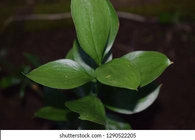 Spineless Butcher's Broom (Ruscus hypophyllum) plant