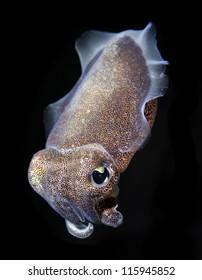 Spinesless cuttlefish, sepiella inermis