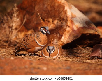 A Spinifex Pigeon in outback central Australia.