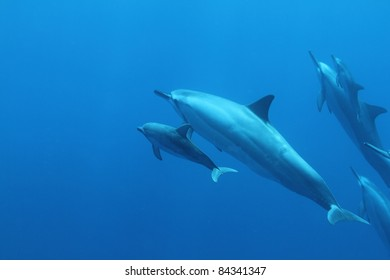 Spinner Dolphin.... mother and child.