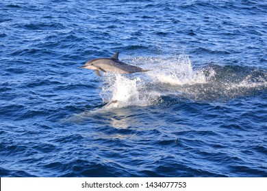 The spinner dolphin (Stenella longirostris)  is famous for its acrobatic displays in which it spins along its longitudinal axis as it leaps through the air. The dolphin jump and play on the ocean.