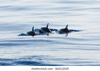 Spinner dolphins swim on the westcoast of Reunion Island in the Indian Ocean