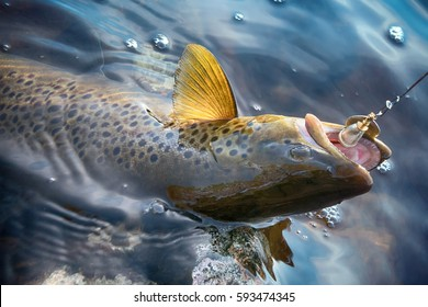 Spinning fishing (lure fishing) trout in lakes of Scandinavia. Brook trout (steelhead rainbow trout, char, bull-trout, cutthroat, lax, Salmo trutta trutta - male) caught on rotating spinner, close up