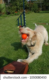 Spinone dog caught in action grapping an orange ball hat came from a flyball machine.