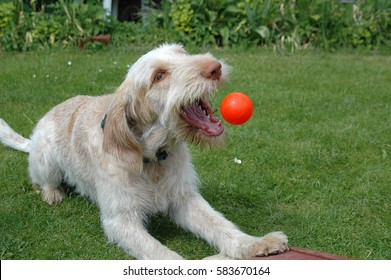 Spinone dog grips a ball thrown from a flyball machine.