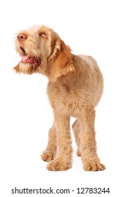 spinone pup with humorous expression