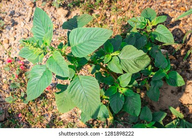 Spiny amaranth, Spiny pigweed, Prickly amaranth or Thorny amaranth (Amaranthus Spinosus L.) is the spiky tree growing in the nature garden