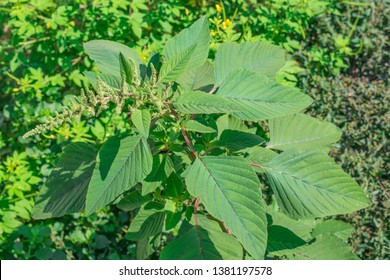 Spiny amaranth, Spiny pigweed, Prickly amaranth or Thorny amaranth (Amaranthus Spinosus) is the spiky tree growing in the nature herb garden