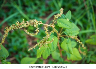 Spiny amaranth, Spiny pigweed, Prickly amaranth or Thorny amaranth (Amaranthus Spinosus) is the spiky tree growing in the nature.