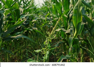 spiny amaranth or spiny pigweed,a herb,vegetable and  broad leaf weed in agriculture filed