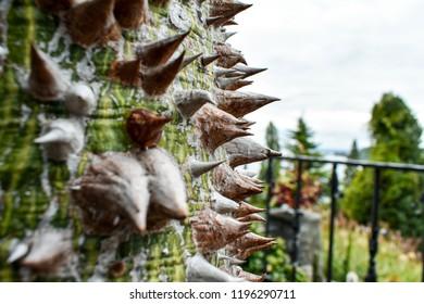 Spiny bark of kapok tree. Thorn tree of Bombax ceiba closeup sharp thorn at tree