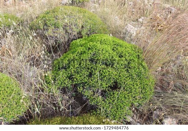 spiny-burnet-bush-early-summerspiny-600w