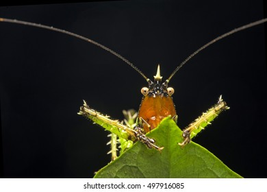 Spiny devil katydid, Amazon rain forest, Ecuador