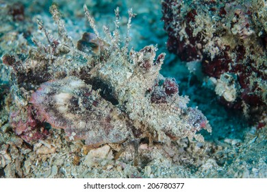 A Spiny devilfish (Inimicus didactylus) blends into the sand and rubble bottom near a coral reef in Indonesia. This venomous fish is an ambush predator.