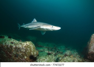 spiny dogfish shark, deep - 15 meters, sea of japan, Russia
