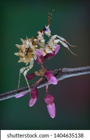 A Spiny flower mantis nymph is climbing on a budding tree limb.