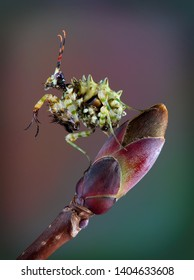 A Spiny flower mantis nymph is sitting on the tip of a maple tree bud.