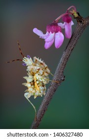 A Spiny flower mantis nymph is sitting on a budding tree branch.