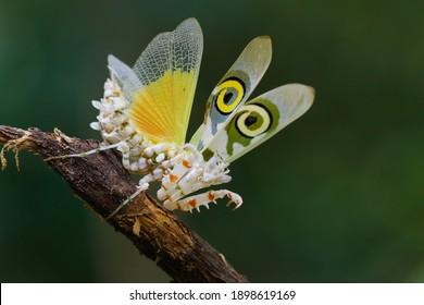 a spiny flower mantis. a praying mantis
