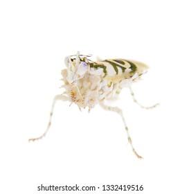 Spiny flower praying mantis, Pseudocreobotra wahlbergii, on white