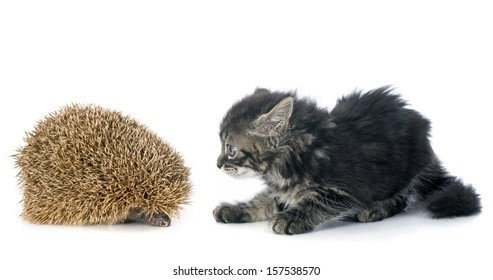 spiny forest hedgehog and kitten on a white background