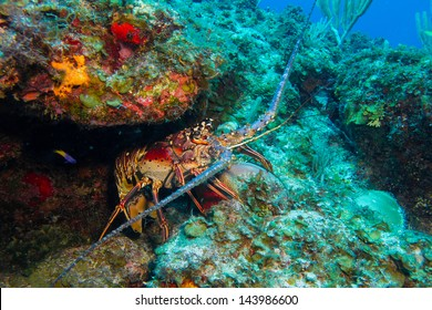 Spiny lobster from the caribbean reefs
