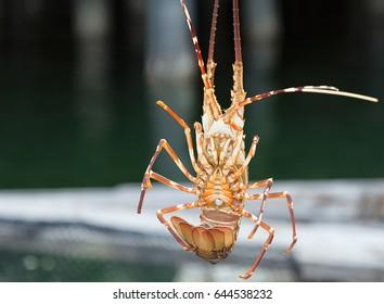 Spiny lobster close up