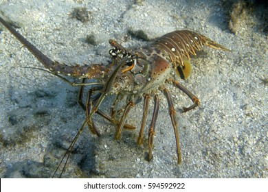 A Spiny Lobster in the Crystal Clear Waters of Roatan; Bay Islands, Honduras