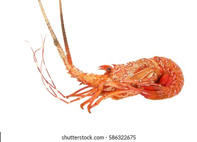 Spiny lobster isolated on white background