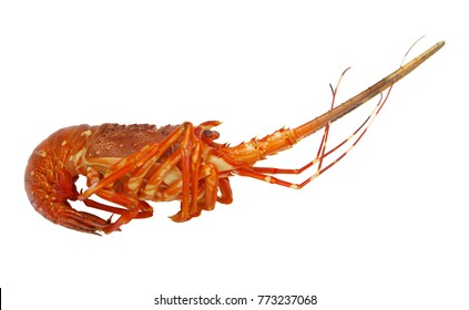 Spiny lobster isolated on white background.