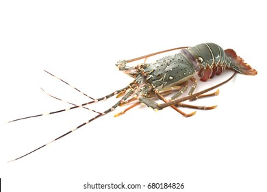 Spiny Lobster on white background