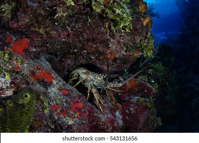 spiny lobster sitting on coral in the caribbean