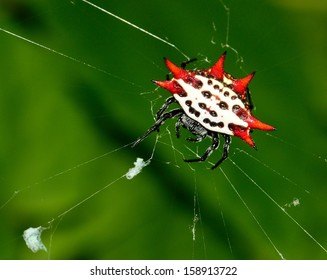 Spiny Orb Weaver, or Crab Spider (Gasteracantha cancriformis) in web.