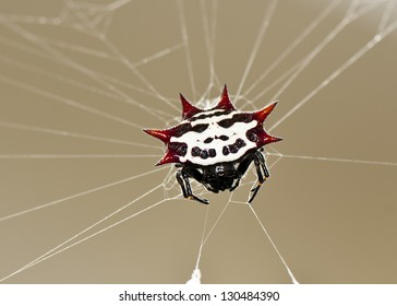 A Spiny Orb Weaver spider from the Florida Keys (Gasteracantha cancriformis)